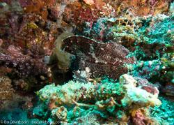 BD-080405-Bunaken-4051251-Taenianotus-triacanthus.-Lacepède.-1802-[Leaf-scorpionfish].jpg